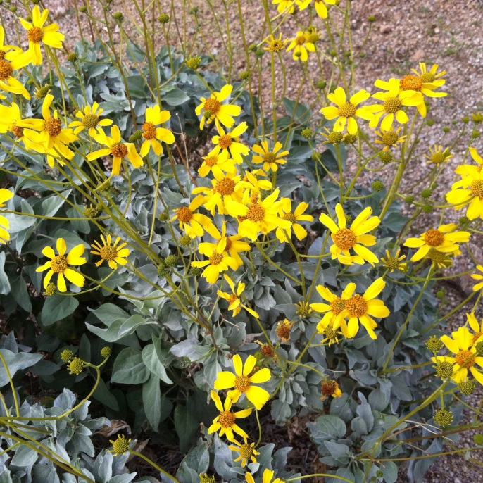 Yellow flowers unpredictableperrys we have seen many different types of wildflowers the brittlebush is the most common flower that we see they are yellow most flowers in the desert are mightylinksfo
